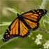 Are Monarch Butterflies Threatened by Genetically Modified Crops?