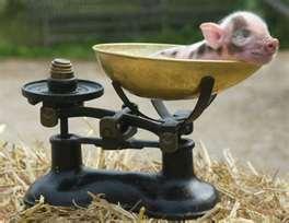 New Zealand Pork